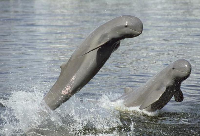 Peut-être aurez-vous la chance de voir les dauphins de l'Irrawady !
