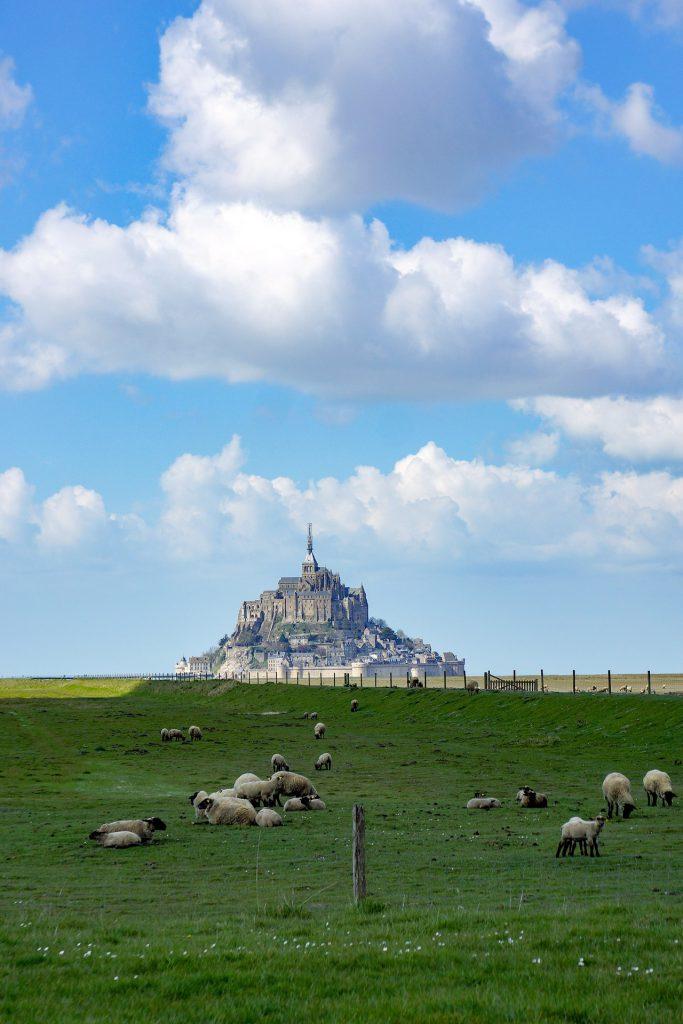 Moutons et agneaux dans les prés-salés du mont saint-michel